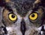 Blind owl gets contact lenses